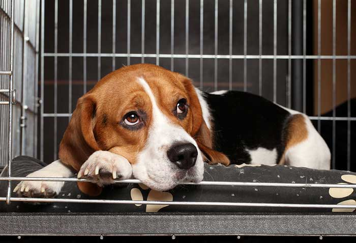 beagle in a cage