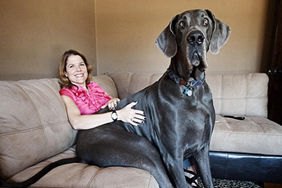 Meet Giant George, officially the tallest dog ever